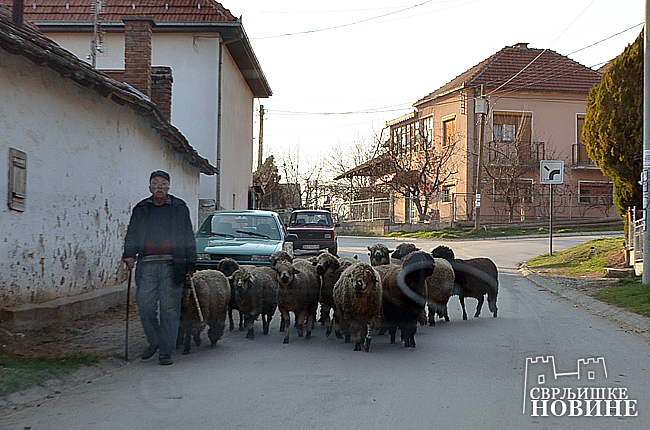 FOTO: Čoban tera ovčice…