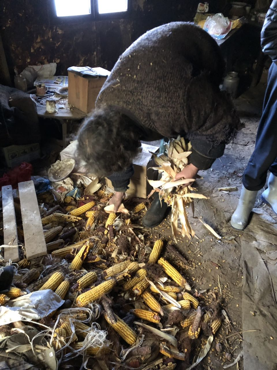 Slavoljub uzima sa poda poslednje zalihe hrane za neuhranjene ovce, foto: M. Miladinović