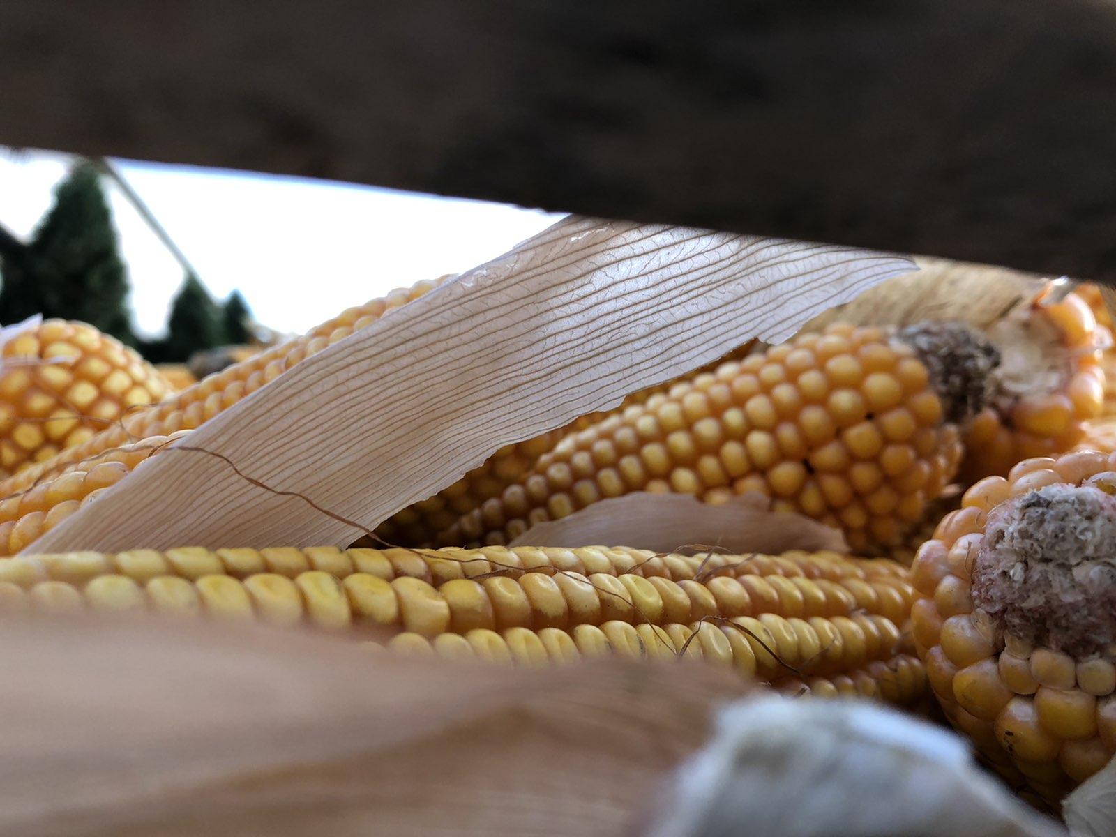 Kukuruz, foto: M. Miladinović