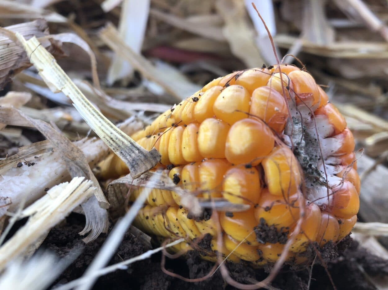 Berba kukurza, foto: M.A.