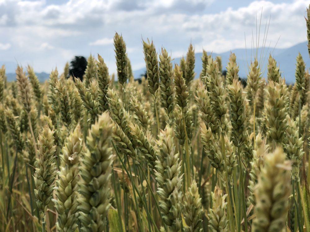 Žetvena polja, foto: M.M.