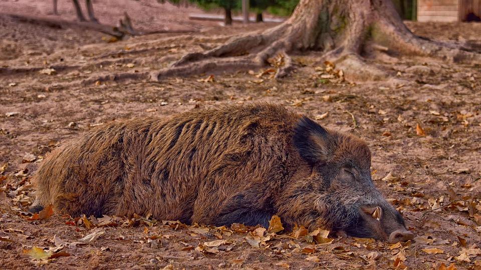 Divlja svinja, ilustracija, foto: Marion Wellmann, preuzeto: Pixabay