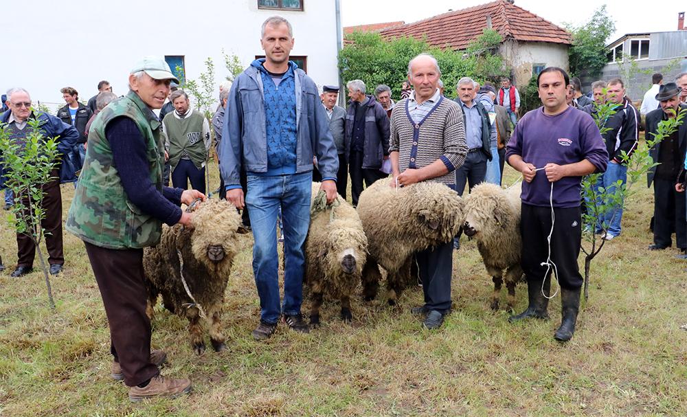 Izlozba ovaca Svrljig