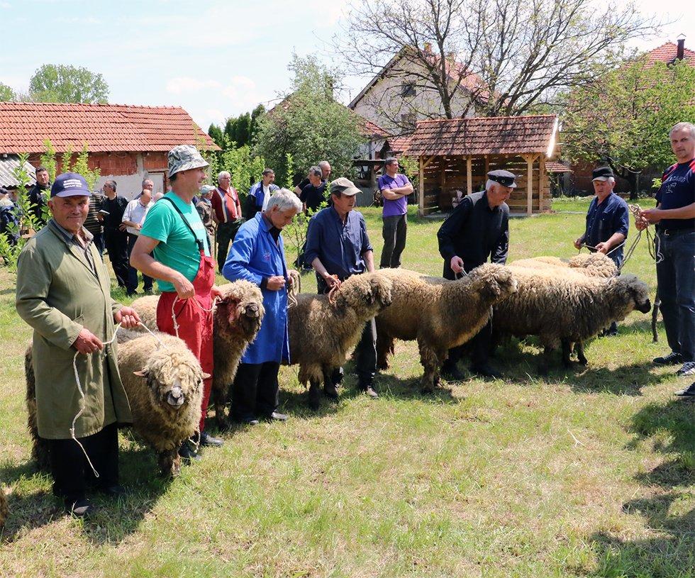 Loše vreme odložilo Opštinsku izložbu ovaca