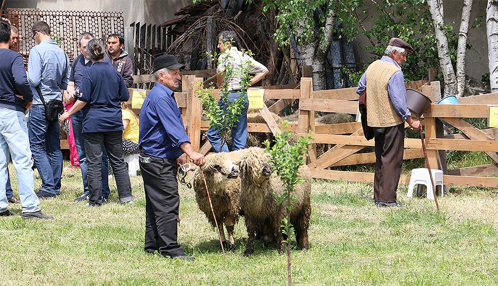 Dvadeseta opštinska izložba ovaca