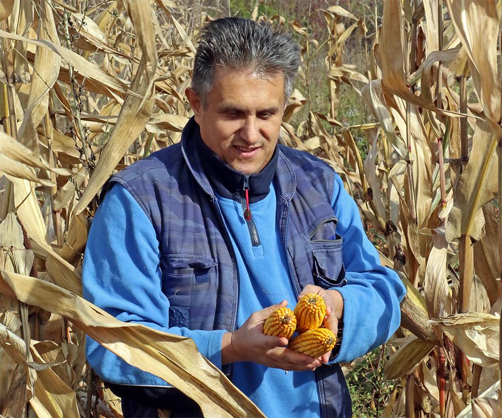 Berba kukuruza u svrljiškom kraju