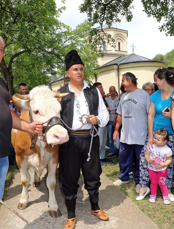 Milija Miletić dovodi kravu u Manastir
