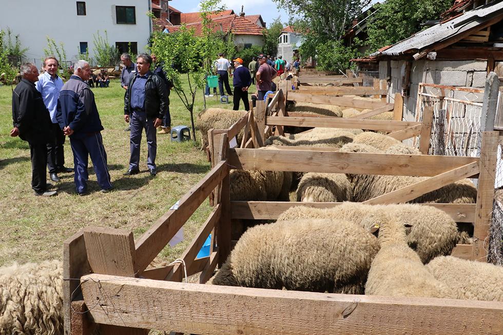 Održana 21. opštinska izložba ovaca 4