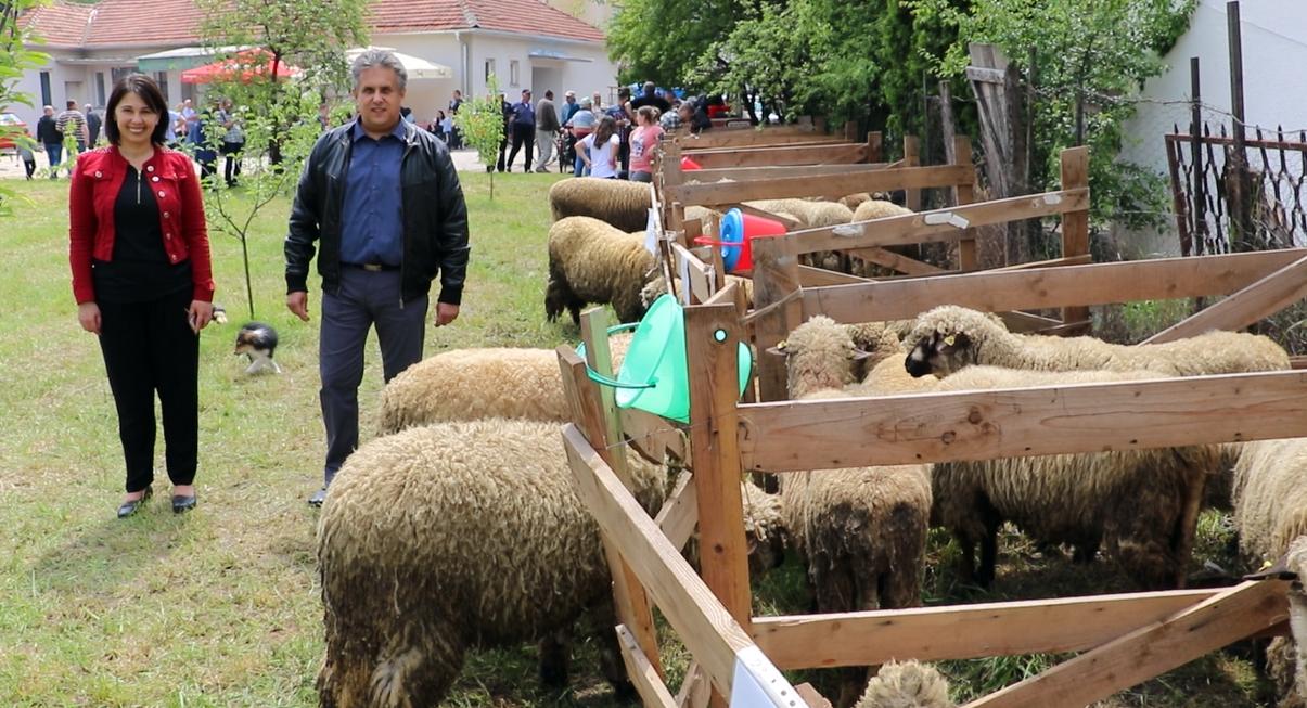 Održana 21. opštinska izložba ovaca 2