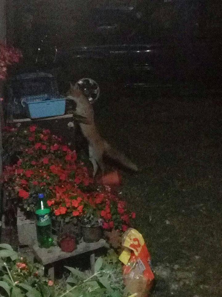Lisica u Svrljigu, foto: S.V.A.