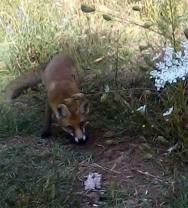 U SVRLJIGU: Kad lisica postane kućni ljubimac…